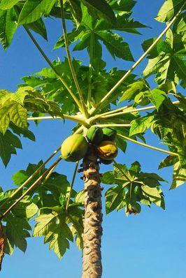 papayakerne sind gut f r die leber papaya